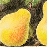 Two Pears And A Yellow Bird